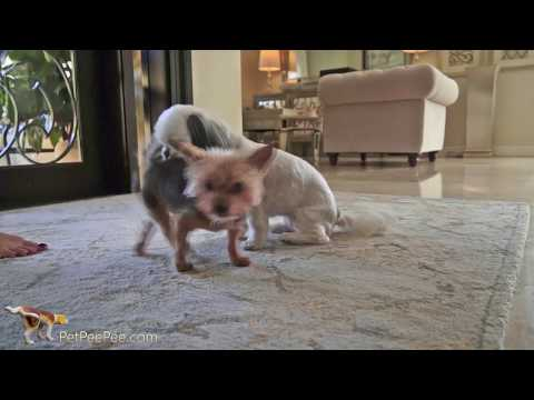 How to remove set in Cat Urine Stains from Carpet-#orientalrug