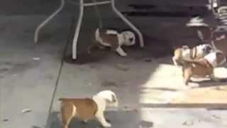Толпа маленьких щенят бульдога бегает за мамой!! Смешное видео про щенят.