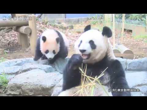 ジャイアントパンダのシャンシャン(217日齢)の映像