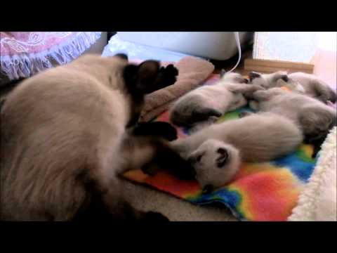 Wobbly Siamese kittens at 4 weeks old