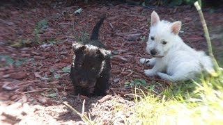 Scottish Terrier, Puppies, For, Sale, In, Jackson, Mississippi, Ms, Clinton, Pearl, Horn Lake