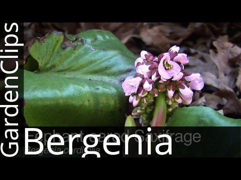 Bergenia Cordifolia - Elephant Eared Saxifrage - Elephant Ears - Pig Squeak - How To Grow Bergenia
