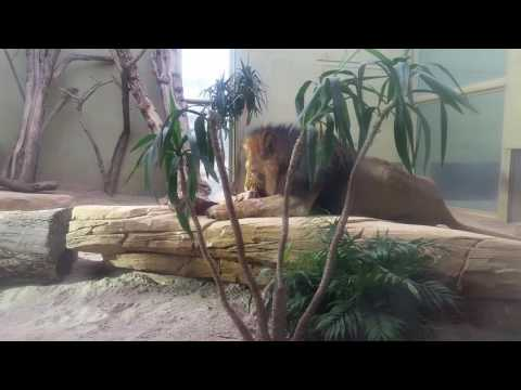 Abdul Rafe in Zoo Lion House Frankfurt Germany 2016
