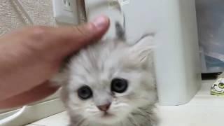 猫なのに足が短くてふっさふさのミヌエット、何をやっても愛嬌たっぷり今話題の猫