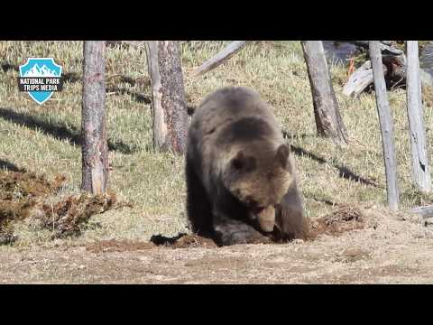 Yellowstone Grizzly Bears and Cubs