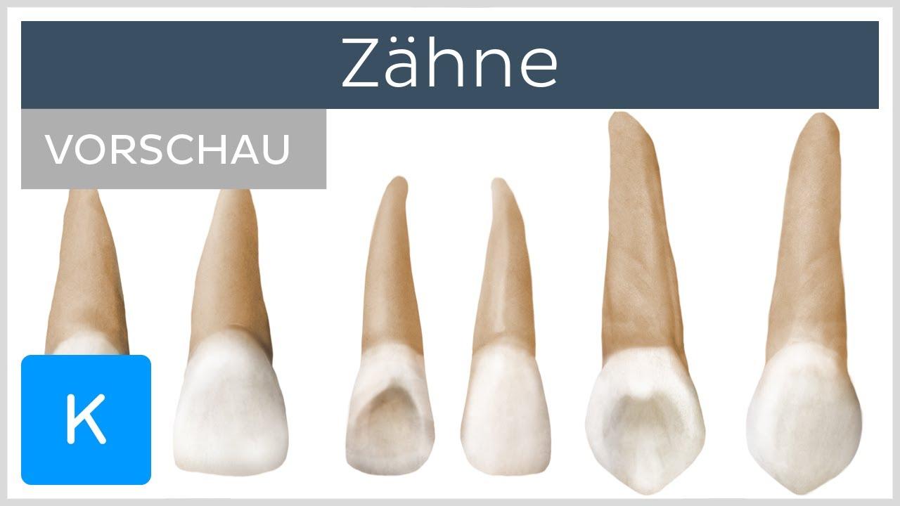 Übersicht über die Zähne (Vorschau) - Anatomie des Menschen |Kenhub