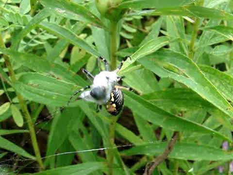 Argiope Aurantia Catching Bumble Bee