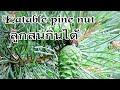 Eatable Pine Nuts?|ลูกสนกินได้จริงเหรอ!|แม่บ้านต่างแดน|ชีวิตในต่างแดน|คนไทยในอเมริกา
