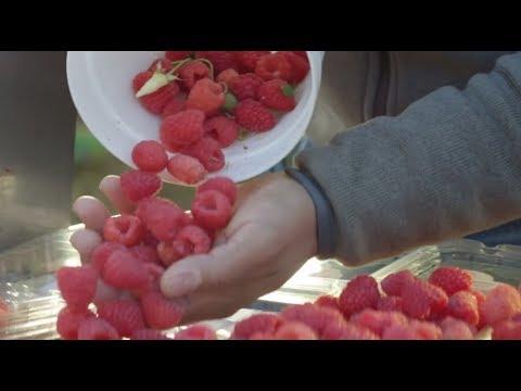 Driscoll's Raspberries | Pursuit Of Flavor