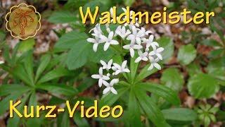 Heilpflanze: Waldmeister - Kurz-Video