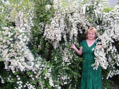 СПИРЕЯ . ТАВОЛГА (Белая невеста). Посадка, выращивание, уход, полив, удобрения, цветение, обрезка