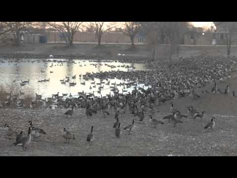 Canadian geese in Plainview Texas
