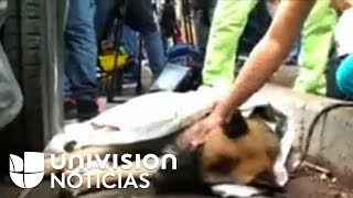 Perros rescatistas de la Marina de México comienzan a sufrir fatiga por el arduo trabajo