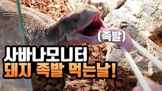 [#파충류]-#사바나모니터-돼지 다리를 급여해볼게요!