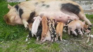 Kunekune Pig Feeding Her Piglets