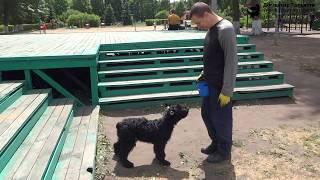 Физкультура для собаки: движение назад по лестнице. Шигаев Роман и ризеншнауцер Куба.