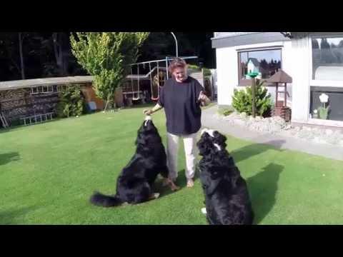 Berner Sennenhund BUDDY und BRUNO
