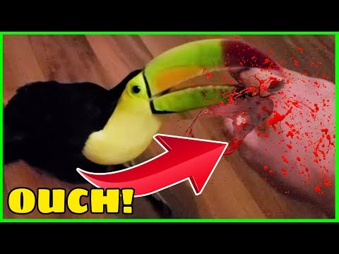 Toucans BITE And It Is NOT FUN! | One Of Many Reasons They Make Terrible Pets