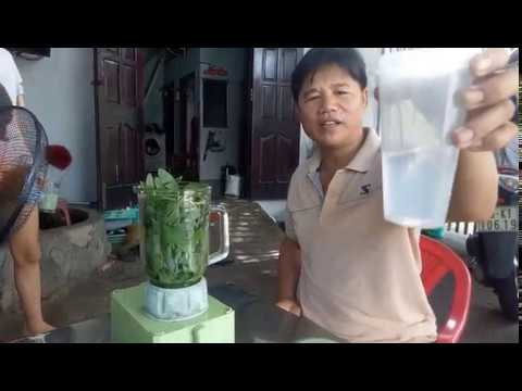 BaLong Vlogs – Chia sẻ bài thuốc trị sỏi thân từ lá cây Đại Bi (hay còn gọi là cúc tần) rất hay
