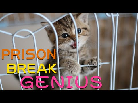 [Funny Cat] Cat prison Break records, the kitten turned out to be a prison Break genius