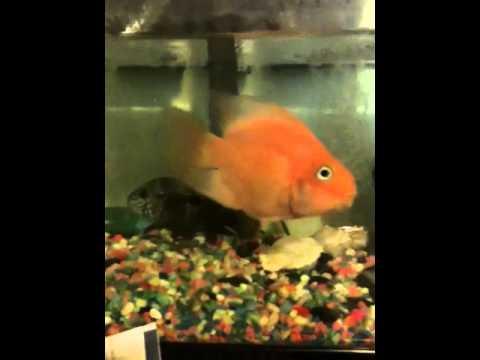 Big fish swims backwards youtube for Fish swimming backwards