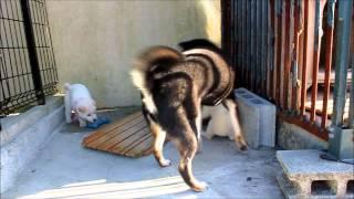2012.10.2撮影。有色紀州犬の子犬(生後35日)と遊ぶ黒柴くるみたん^^