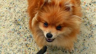Chewy - Pomeranian - 4 Week Residential Dog Training At Adolescent Dogs
