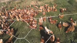 Dogal yumurta uretimi akhisar
