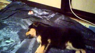 Самый крепкий сон собаки, лапочки кошечки красотки лучшие животные лапочка клёвая смех до слёз ахаха