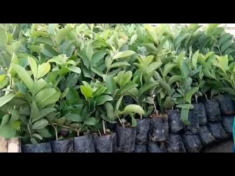 guava plants loding by Apple Ber Nursery