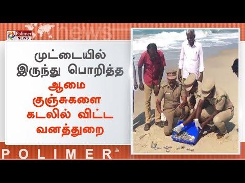 வனத்துறையினரால் பாதுகாக்கப்பட்டு பொறிக்கப்பட்ட ஆமை குஞ்சுகள் கடலில் விடப்பட்டன | #Ramanathapuram