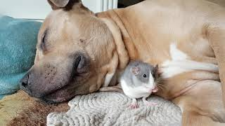 American Bully Logan With Baloo a pet rat