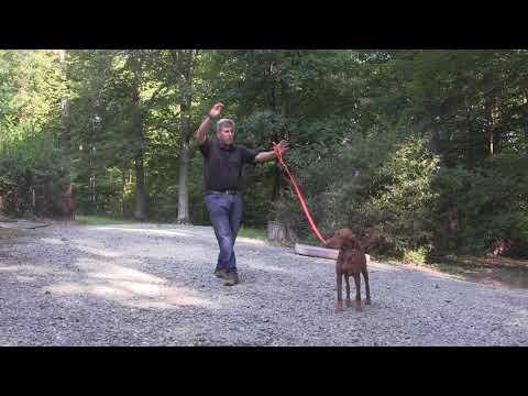 Vizsla Puppy Training Mooresville NC    Tucker