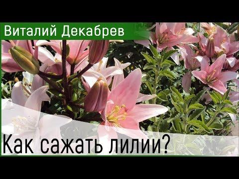 Лилия проросла раньше времени. Как сажать лилии?