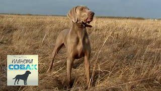 Веймаранер. Планета собак 🌏 Моя Планета