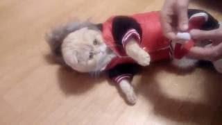 Маловато будет или как кот примерял комбинезон))) clothing for cat)))