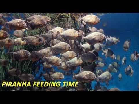 Piranha Feeding Time - Carp Gone In 2 Minutes