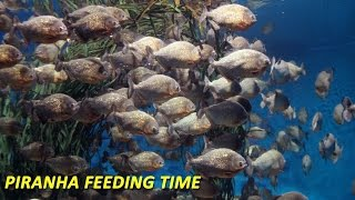 Piranha Feeding Time - Carp Gone in 2 Minutes