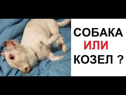 Лютые приколы. Собака или КОЗЕЛ? Кто это?