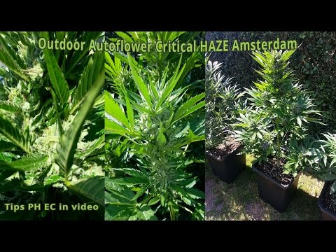 Haze AutoFlower Critical Amsterdam Outdoor Grow
