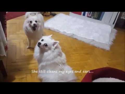 German Spitz: Mother's Love Is Endless