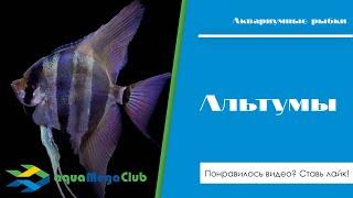 альтумы - содержание в общих аквариумах, совместимость с другими рыбами