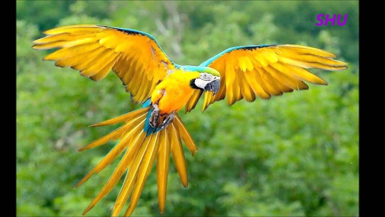 Bird Of Paradise Hd Wallpaper Aves Del Paraiso Ii Youtube