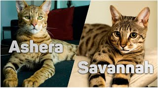 Ashera or Savannah | TOP 12 Most Expensive Cat Breeds in the World | ANML