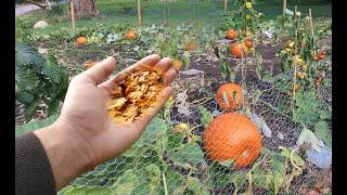 Посыпьте этим почву в огороде в ноябре декабре! По весне в 10 раз больше урожая будет, проверено!