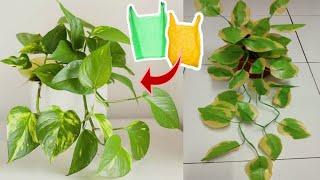 DIY Tanaman Siri Gading dari Plastik Kresek | How to make Golden Pothos plant from plastic bag