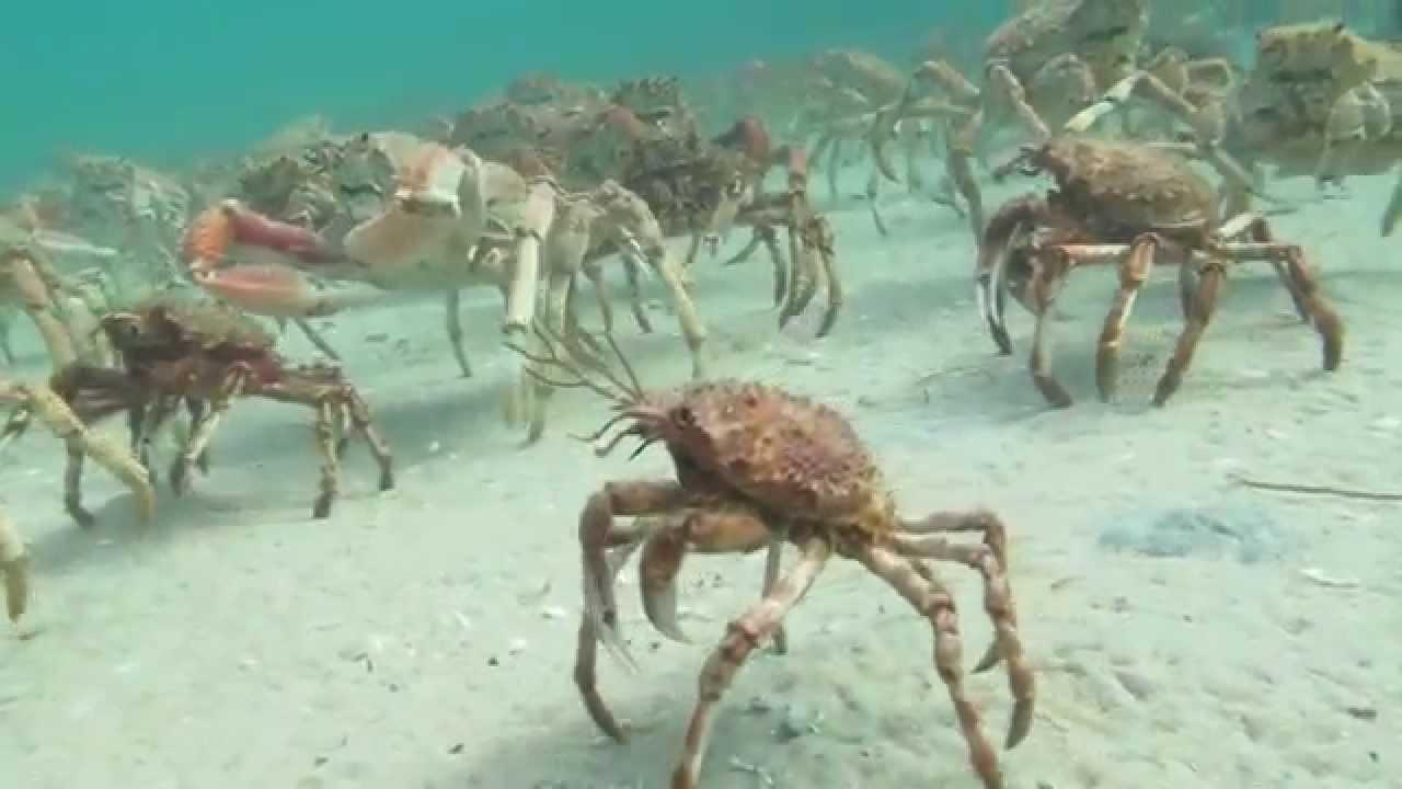 Spider Crab Disco Scuba Diving Rye Pier Migration 2014
