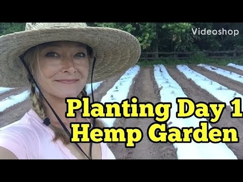PLANTING  HEMP - DAY 1 of planting industrial hemp for CBD