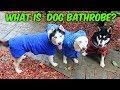 My Husky Trying Dog Bathrobe for the Fir