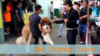 Sư Tử Vương  87 kg. Chó giống Alaska Malamuts ''khủng'' Việt Nam - Dog Show 2016
